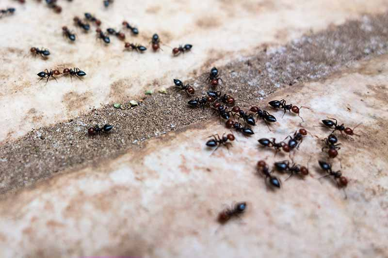 A cluster of ants on a concrete tiled surface feeding on a debris, fading to soft focus in the background.
