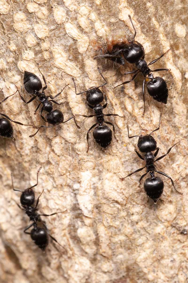 A vertical picture of black ants feeding on the sap of a tree.