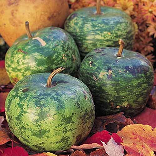 A close up of the 'Apple' cultivar of Lagenaria siceraria, with dark green speckled skin, in the shape of an apple. The background is autumnal leaves and small flowers in soft focus.