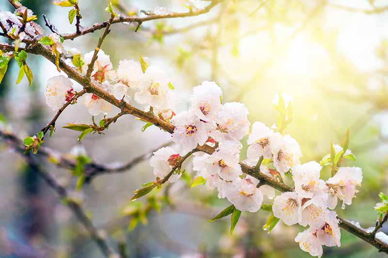 A close up of a branch of a Prunus armeniaca tree with clusters of white blossoms in bright filtered sunshine on a soft focus background.