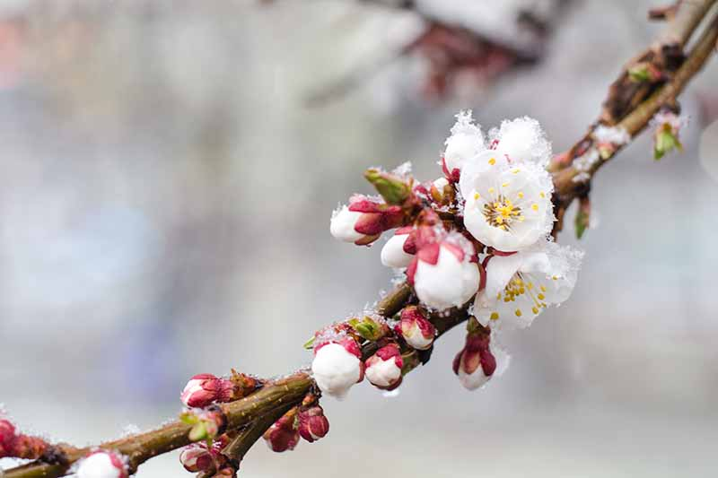 A close up of a branch of a Prunus armeniaca tree showing the small white blossoms just starting to flower, surrounded by buds on a white soft focus background.