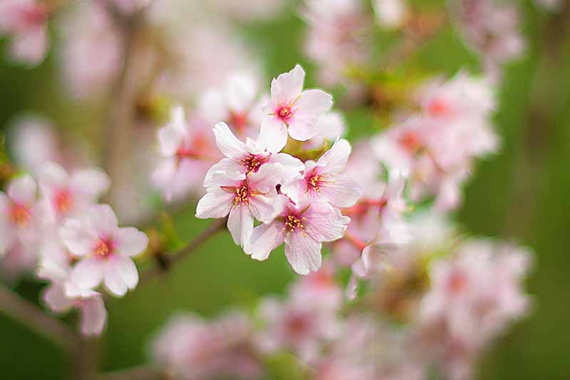 A close up of white Prunus armeniaca blossoms with pink and yellow centers on a soft focus background.