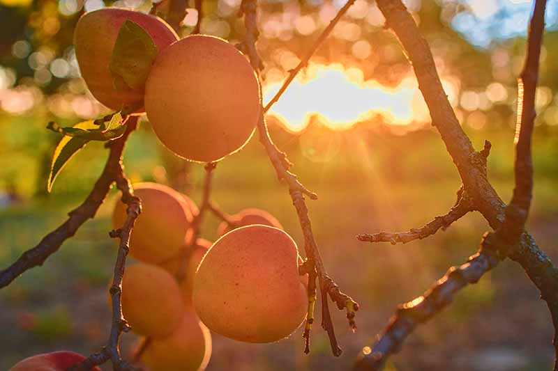A close up of a cluster of apricots on the branch at sunset, on a soft focus background.