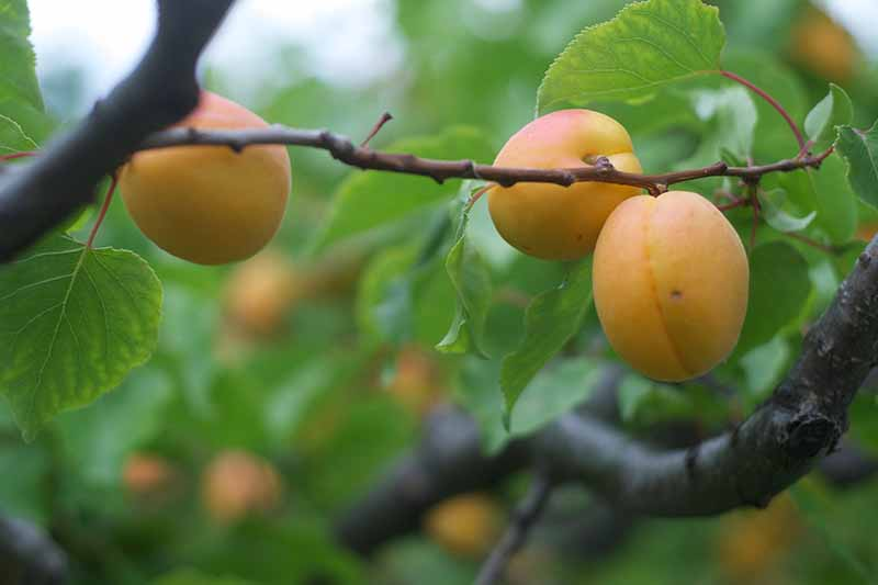 A close up of three fruits of the Prunus armeniaca tree, on the branch surrounded by green foliage on a soft focus green background.