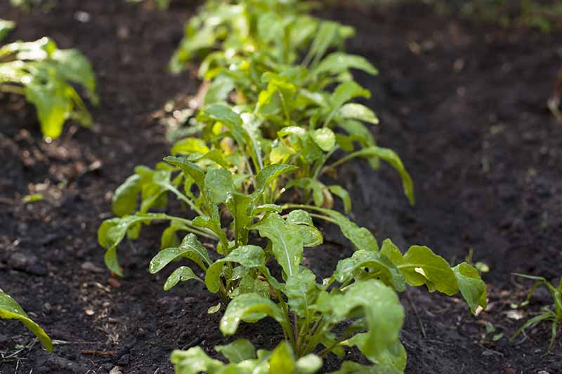 A close up of small arugula plants growing in rows in the garden with dark soil in between fading to soft focus in the background.