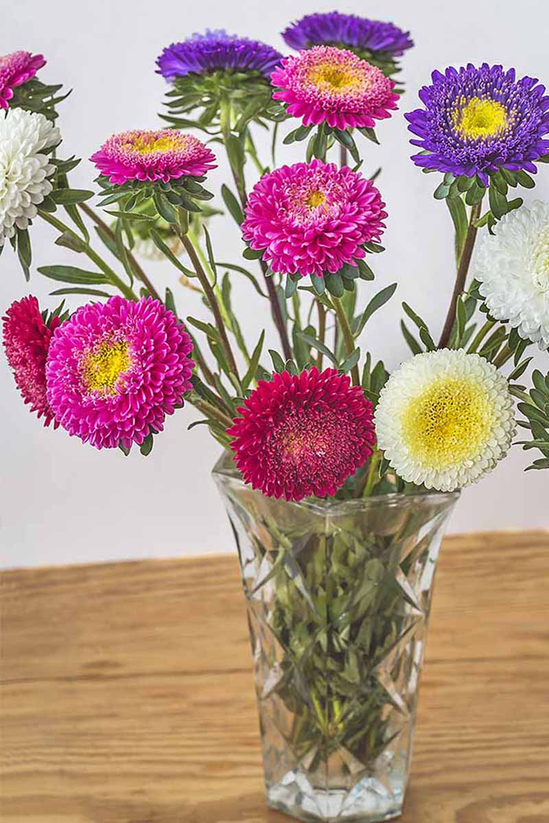A vertical picture of pink, yellow, red, and purple China asters in a glass vase set on a wooden surface on a white background.
