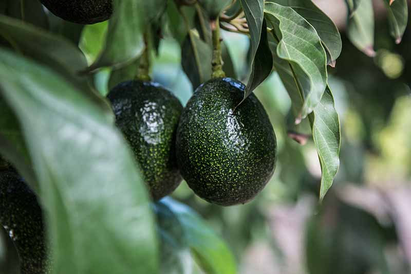 A close up of a shiny, dark green avocado fruit, with tiny light green speckles, surrounded by leaves fading to soft focus in the background.