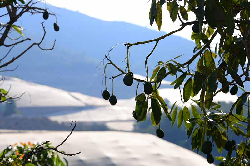 A close up of an avocado tree with fruit hanging from the branch, surrounded by leaves with snow and a mountain in the background in bright sunshine.
