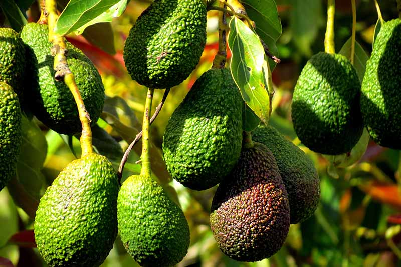 A close up of a bunch of avocado fruits hanging from the tree, surrounded by green leaves and a soft focus background.