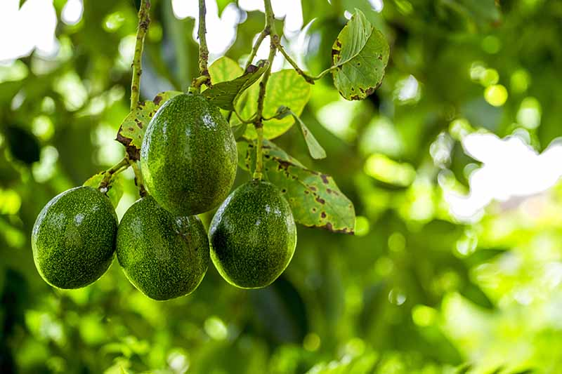 A close up of green, speckled avocado fruit hanging from a branch with some leaves surrounding them, on a soft focus background in light sunshine.