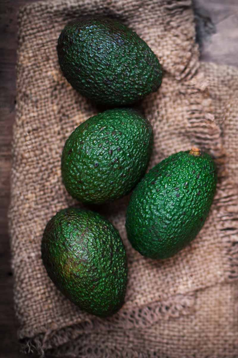 A vertical close up of four dark green avocados with textured skin, arranged on a hessian background.