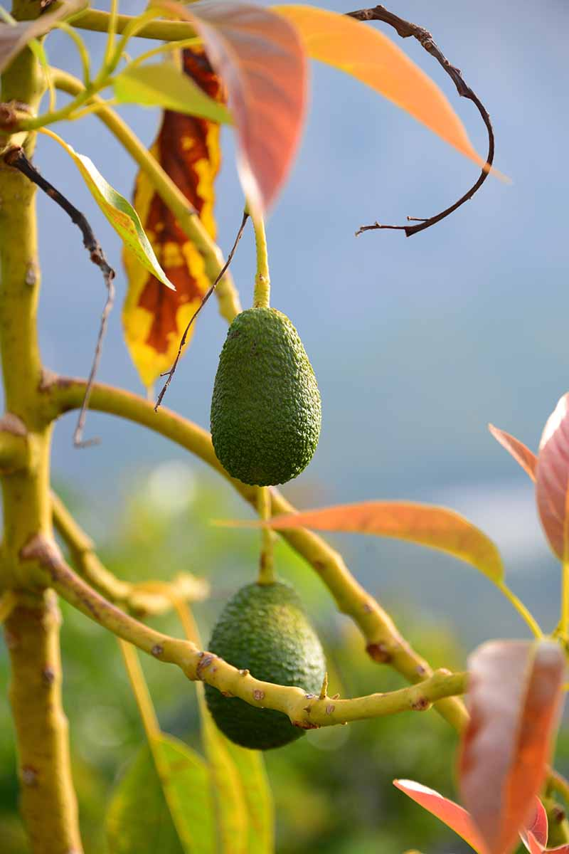 A vertical picture of two avocado fruits hanging from a branch with orange leaves. The background is blue sky in soft focus.