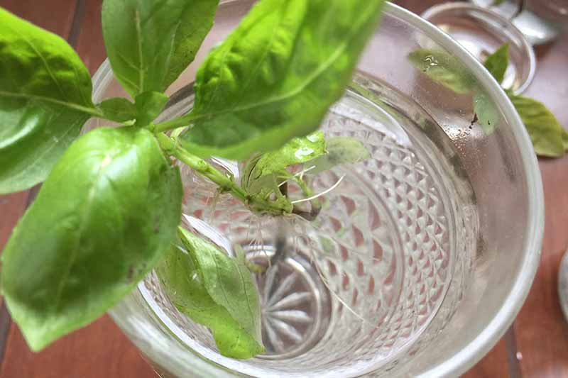 A close up of a cutting taken from a kitchen herb placed in a glass with water set on a wooden surface with a soft focus background.