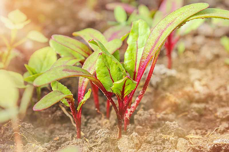 A close up of tiny beet seedlings with light green foliage and purple stems with soil around them fading to soft focus in the background.