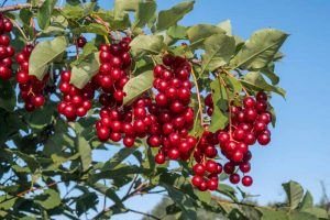 9 of the Best Cold Hardy Cherry Trees