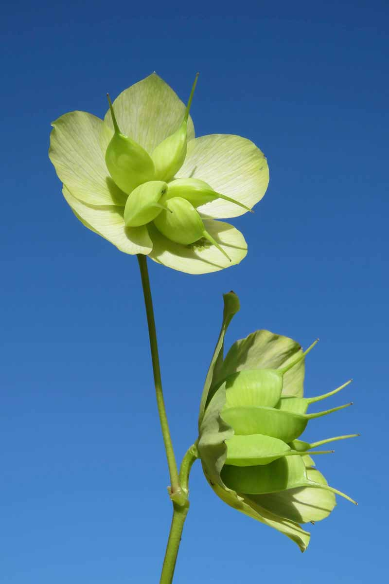A vertical picture of two flowers of the genus Helleborus plant clearly showing their developing seed pods on a blue sky background in bright sunshine.