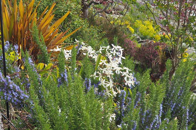 A garden scene on a slope planted with various herbs and flowers, small blue rosemary flowers contrast with white blooms and green leaves.
