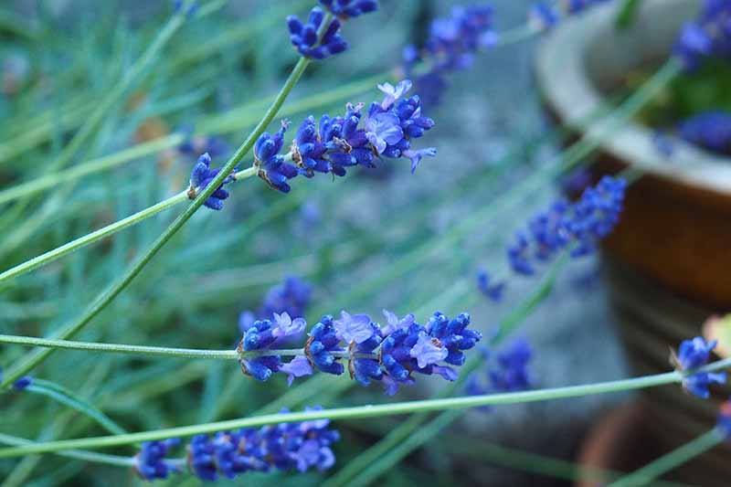 A close up of the light blue flowers of the 'Blue Hidcote' variety of lavender plant, on a soft focus background.