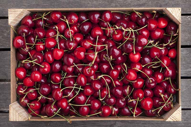 A close up top down picture of a box of freshly harvested ripe red cherries with stalks still attached, set on a wooden surface.