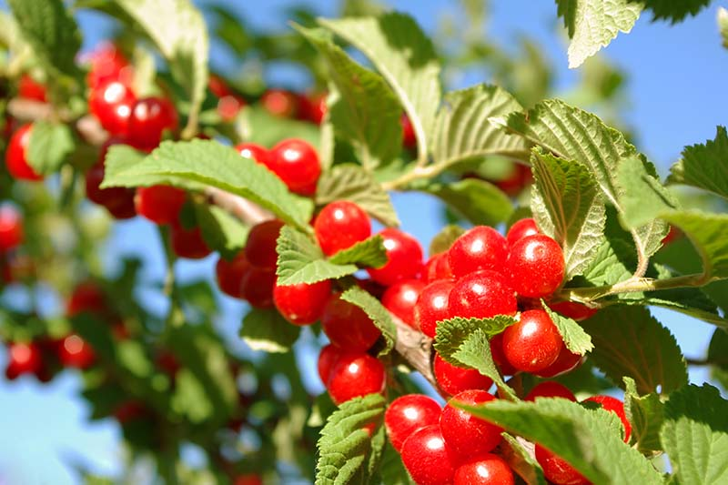 A close up of ripe fruit of the 'Nanking' variety of cherry tree, the vibrant red contrasts with the green foliage in bright sunshine with blue sky and a soft focus background.