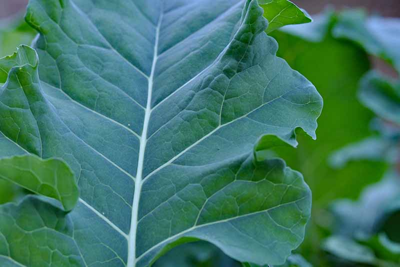 Close up picture of a dark green leaf of broccolini with light green veins and stems on a soft focus green background.