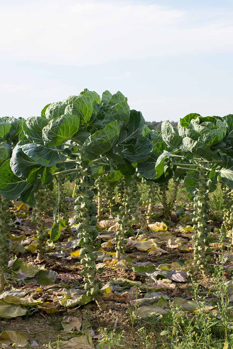 A vertical picture of rows of brussels sprouts growing in the garden with mature buds on the stalks and large flat leaves at the top, surrounded by fallen yellowing leaves in light sunshine.