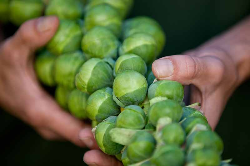 A close up of two hands holding a brussels sprout stalk with mature buds after harvest on a dark soft focus background.
