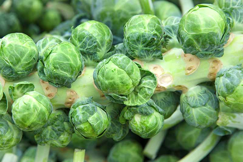 A close up of a brussels sprout stalk with mature buds ready for harvesting, on a soft focus background.