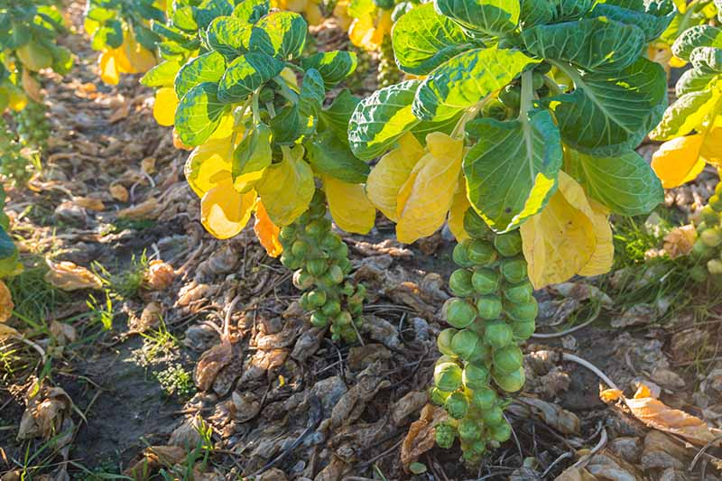 A close up of brussels sprout plants growing in the garden with mature buds and yellowing leaves. Around the base of the plants is leaf mulch.