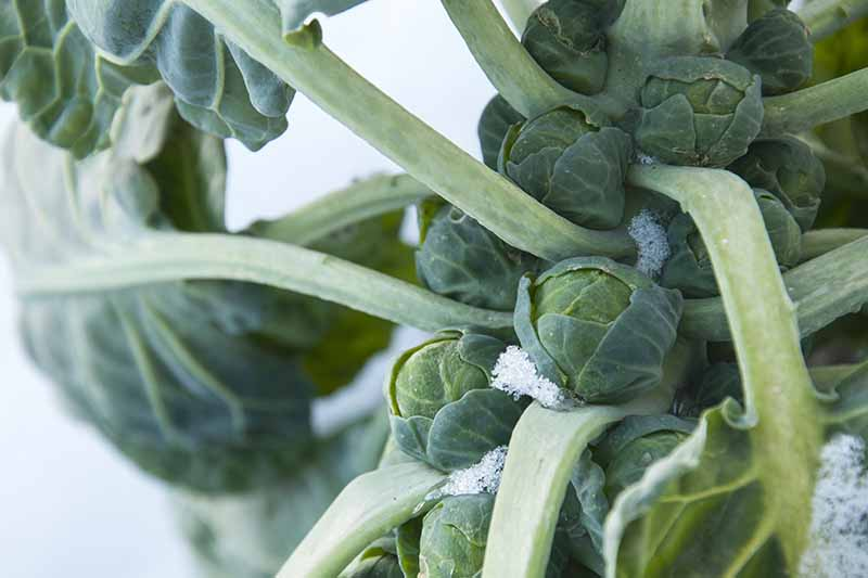 A close up of mature brussels sprouts growing on the stalk in the garden with a light dusting of snow on a soft focus background.
