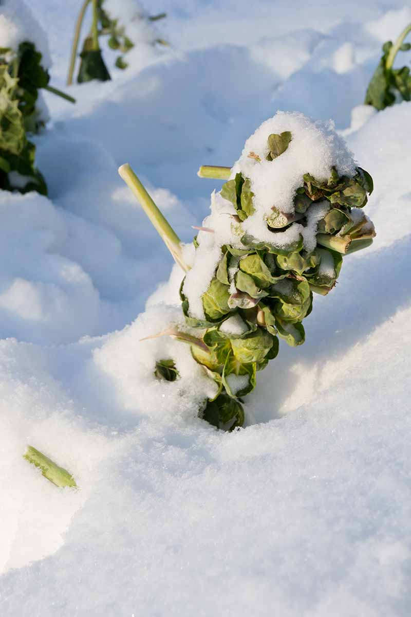 A close up vertical picture of brussels sprout plants with their leaves taken off, covered in snow in light sunshine.