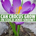 A close up of a purple crocus flower with an orange center and green foliage pushing up through the snow on the ground. To the center and bottom of the frame is green and white text.