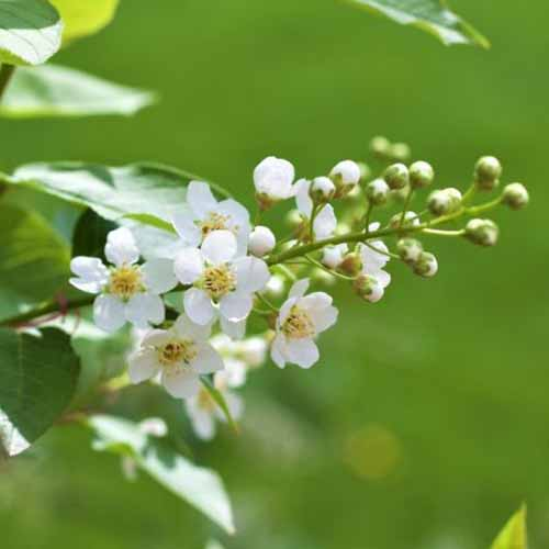 A close up of the small white blossoms and buds of the 'Canada Red Select' variety of Prunus virginiana, on a green soft focus background.