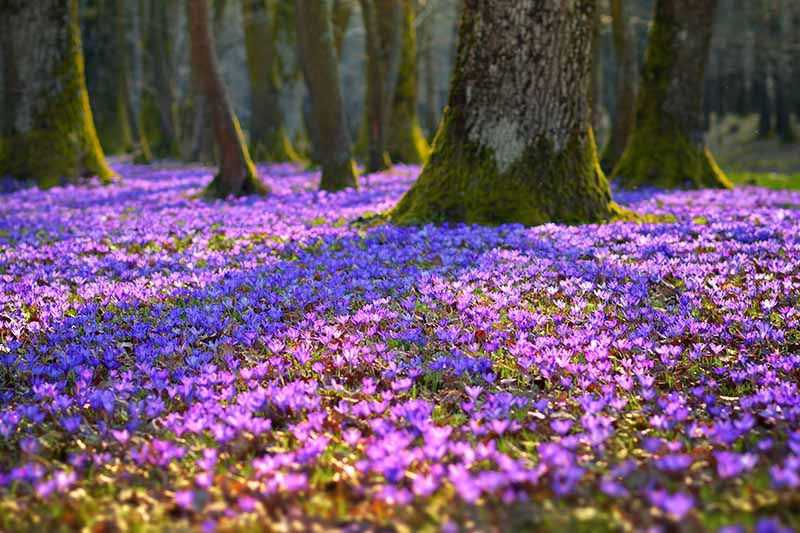 A forest scene with trees and the ground covered in bright purple crocus flowers in filtered sunlight.