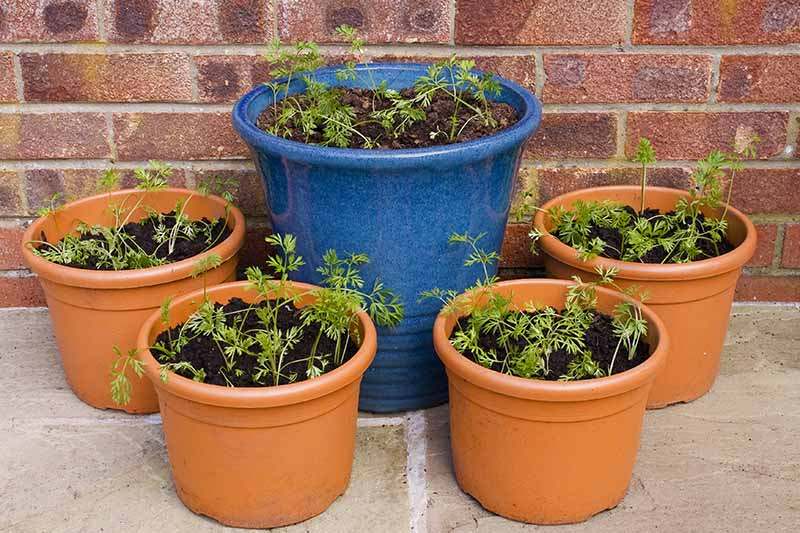 A close up of four terra cotta pots surrounding a large blue ceramic pot all containing carrot seedlings. The background is a paved surface and a brick wall.