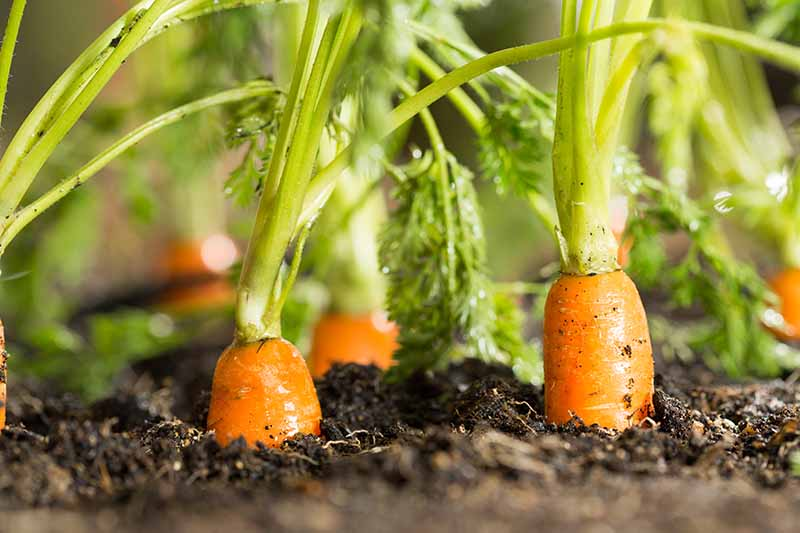 A close up of carrots growing in dark rich soil with just the tops of the orange roots showing amongst the green foliage in bright sunshine.