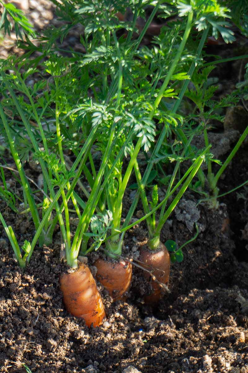 A vertical picture of carrots growing in a container with the orange roots visible above the soil and the bright green leafy tops attached, in filtered sunshine.