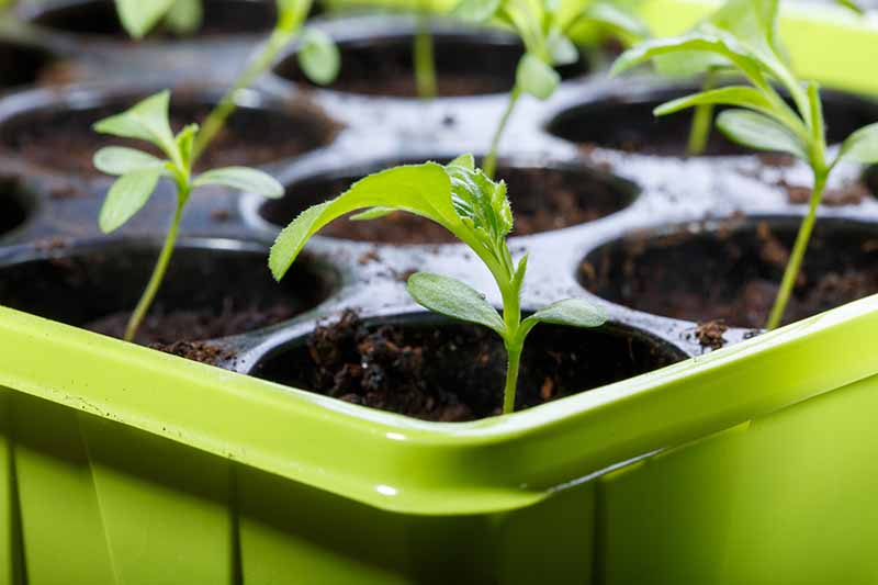 A close up of a green seedling tray containing tiny green seedlings,