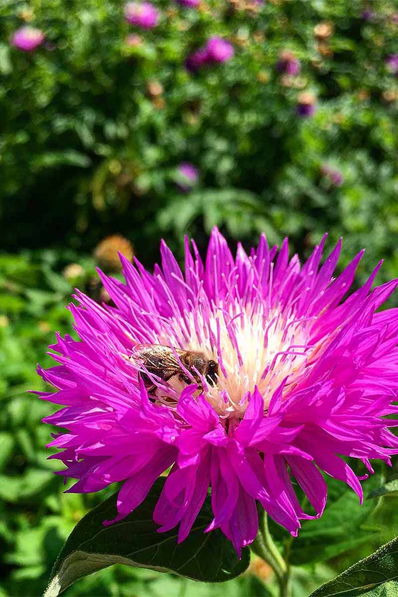 A vertical picture of a vivid pink China aster flower with a bee in its yellow center. The background is a garden scene in soft focus in bright sunshine.