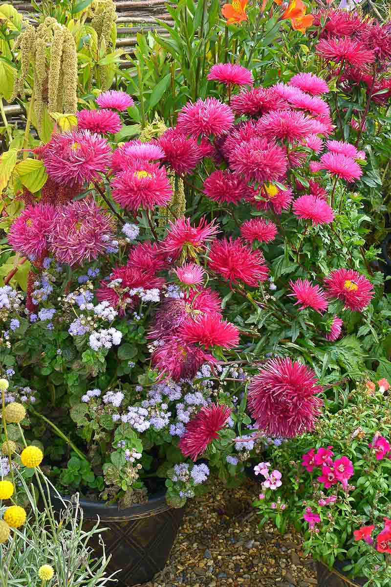 A vertical picture of red China aster flowers growing in the garden. The bright red blooms have thin petals and are surrounded by green foliage and various other flowers of different shapes and colors.