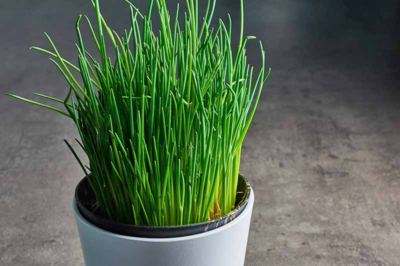 A close up of a small white pot containing a Allium schoenoprasum plant with bright green, thin, upright stems on a soft focus gray background.