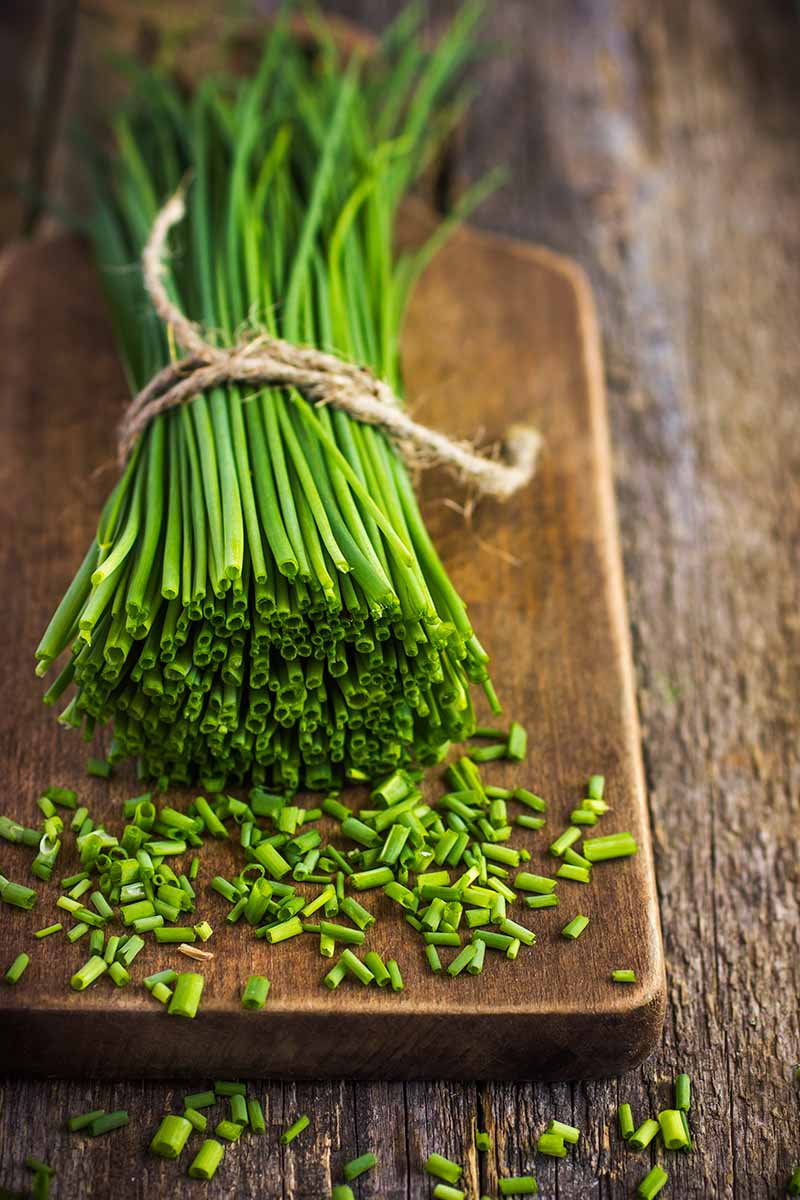 A vertical close up of a bunch of fresh chives tied together with string, on a wooden chopping board, on a wooden surface. Some of the herb has been chopped, and pieces of it are scattered around.