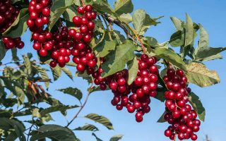 A close up of a cherry tree with large bunches of ripe, rich red fruit contrasting with the green foliage in bright sunshine with a blue sky in the background.