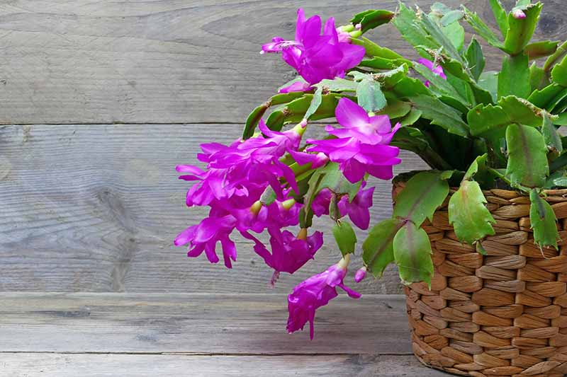 Purple flowering Easter cactus well rooted young plant