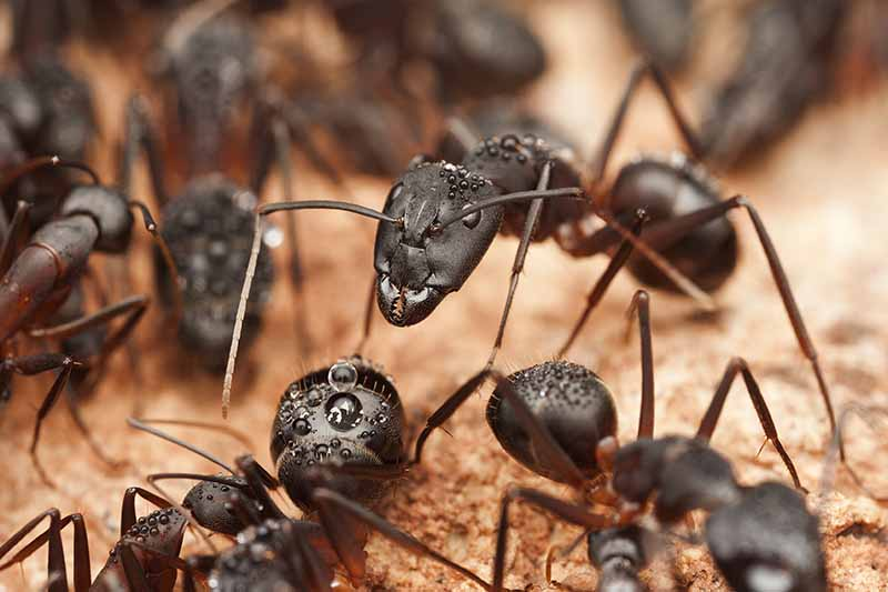 A close up of large black carpenter ants on a soft focus background.