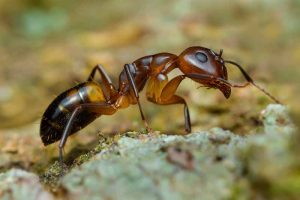 How to Manage an Argentine Ant Infestation