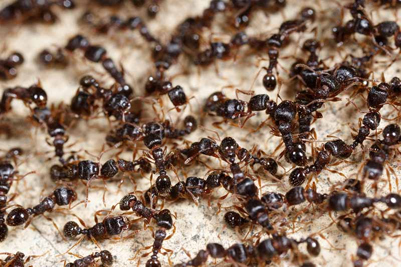 A close up of a large number of dark colored ants on a light colored surface.