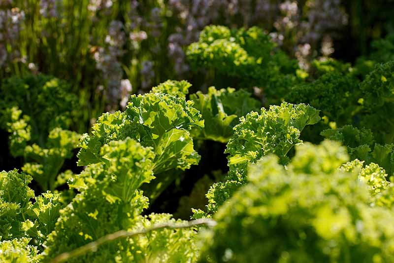 A close up of curly Brassica oleracea leaves with frilly edges growing in the garden in light sunshine on a soft focus background.