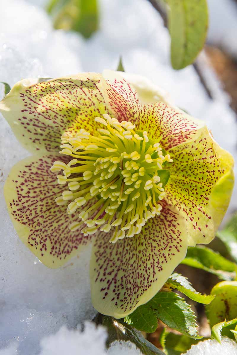 A vertical close up picture of a yellow hellebore flower with purple speckles growing in the snow in light sunshine on a soft focus background.