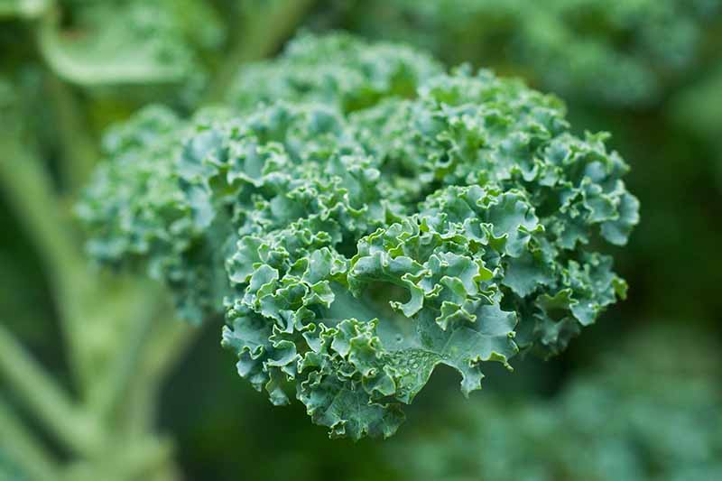 A close up of a curly kale leaf with the rest of the plant in soft focus in the background.